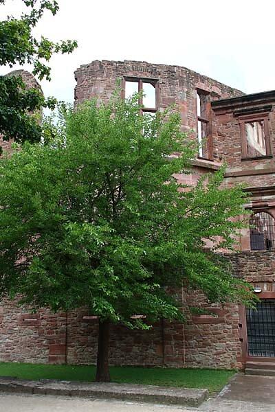 Schlossruine-Heidelberg-65.jpg